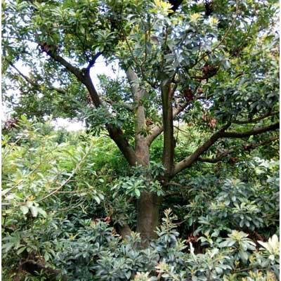 贵阳荸荠杨梅大树