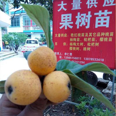 贵州白沙枇杷