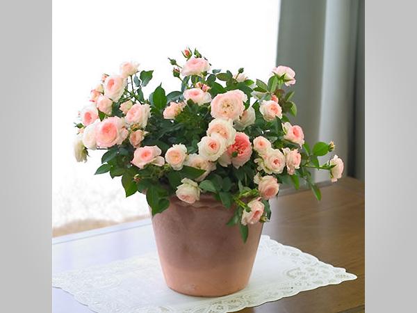 盆栽花卉-微型月季