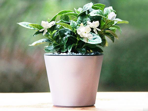 盆栽租赁-四季栀子花