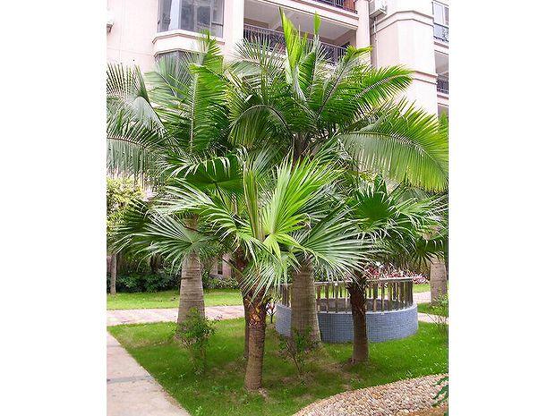 重庆蒲葵园林植物