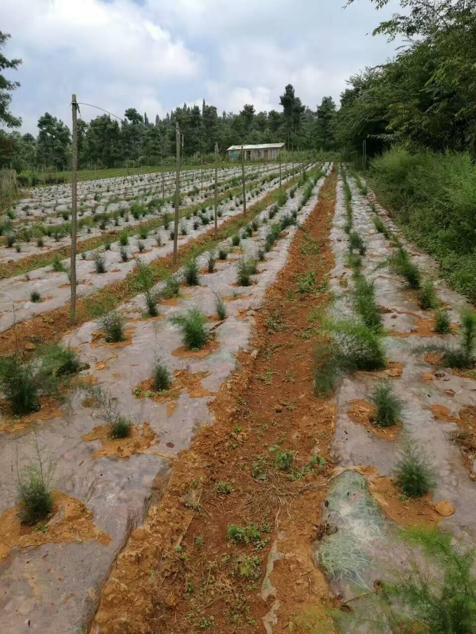 贵州天门冬种植
