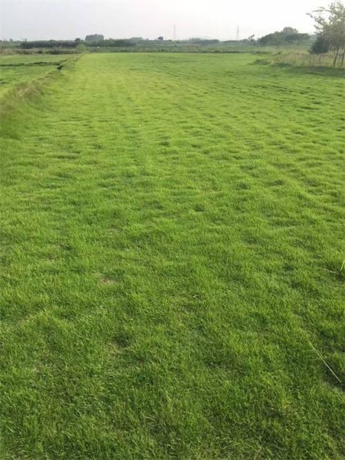 马尼拉草坪出厂价格多少钱,句容绿馨,马尼拉草坪供应商批发制造