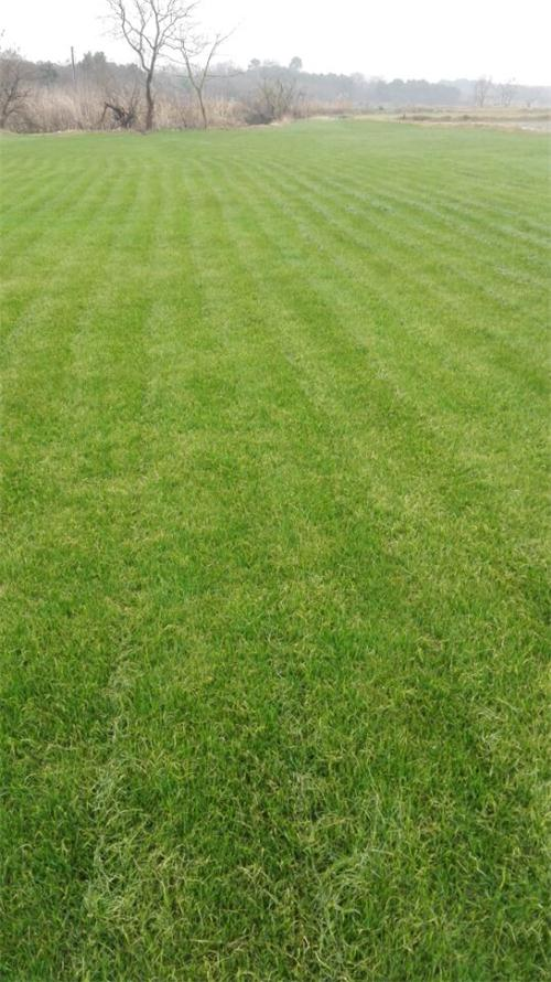 无锡马尼拉草坪