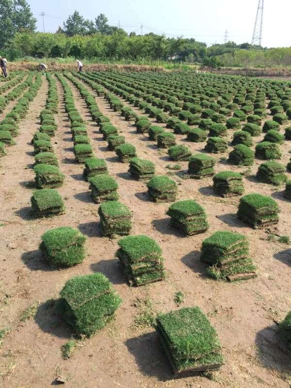 天堂草坪采购制造商,绿馨草坪,天堂草坪厂家供应商