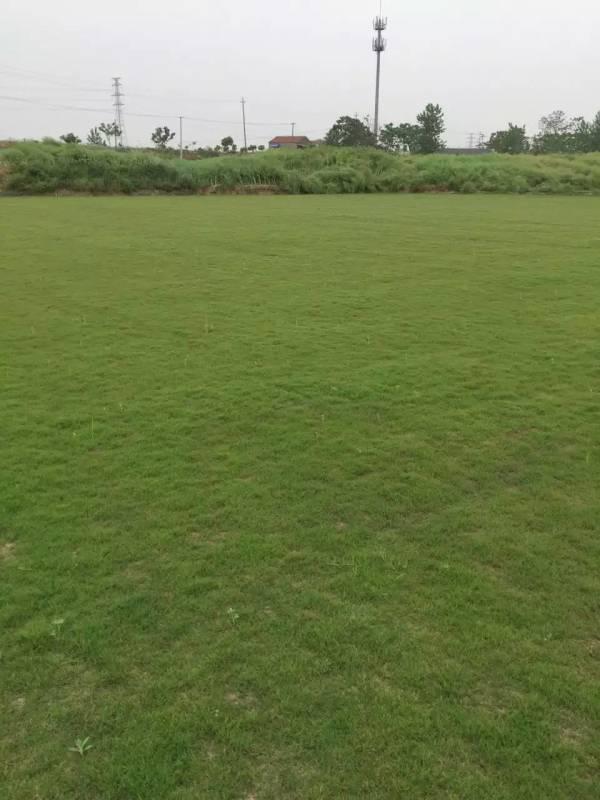 百慕大草坪种植