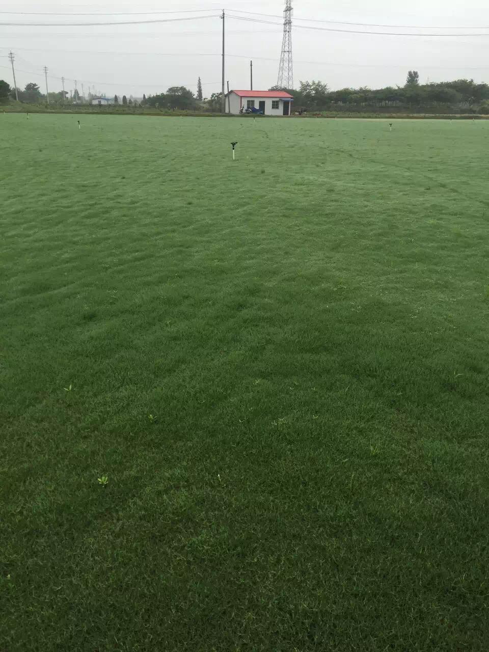 绿化草坪价格