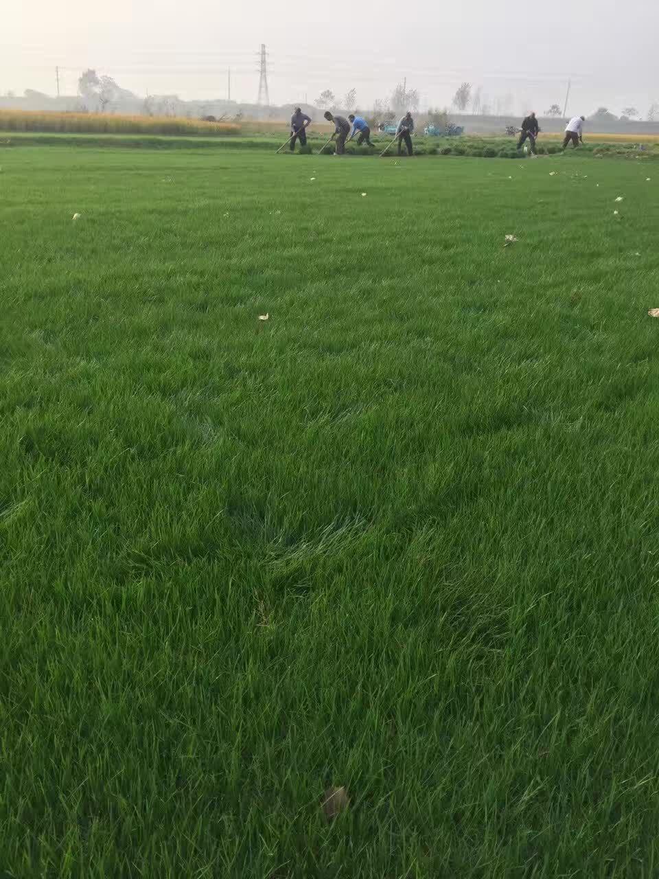 绿化草坪批发 句容绿馨 绿化草坪设计