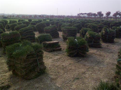 百慕大与黑麦草混播草坪种植