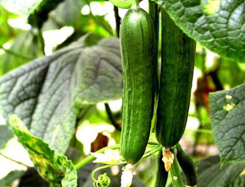 湖北瑞禾蔬菜有机肥厂家