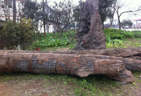 四川金丝楠木