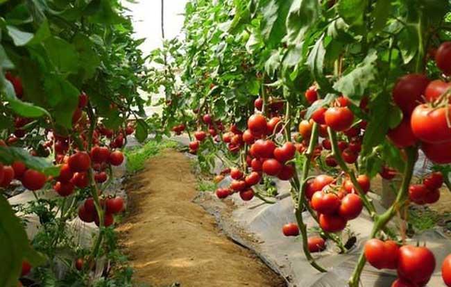 西红柿大棚遮阳网