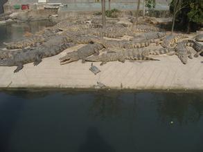 江苏盐城鳄鱼生态养殖