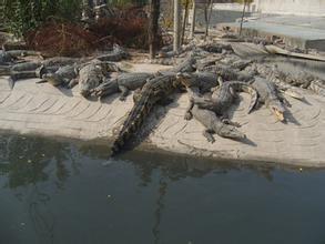 鳄鱼生态养殖公司