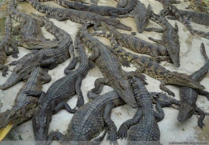 鳄鱼养殖加盟