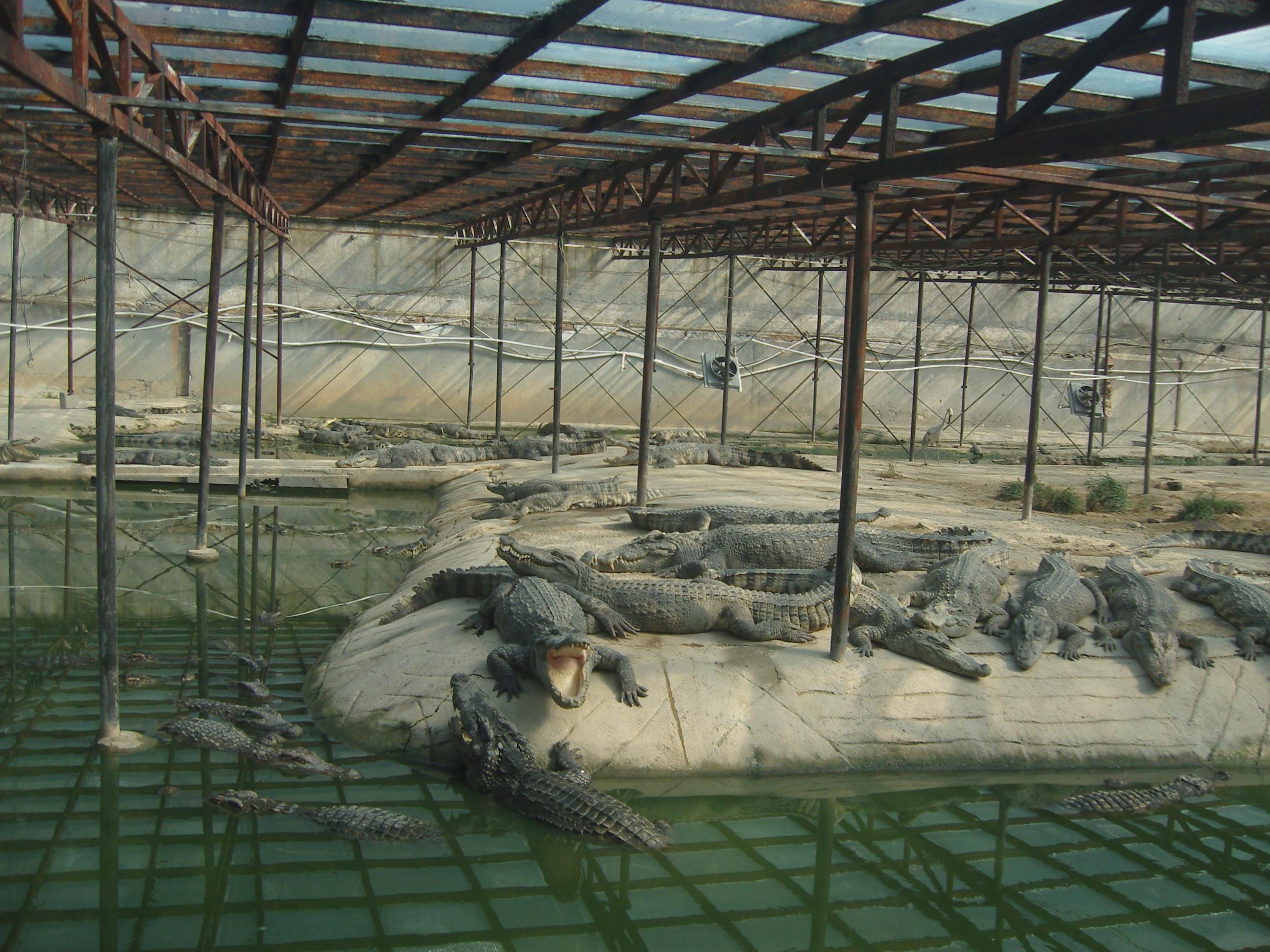 暹罗鳄特种养殖