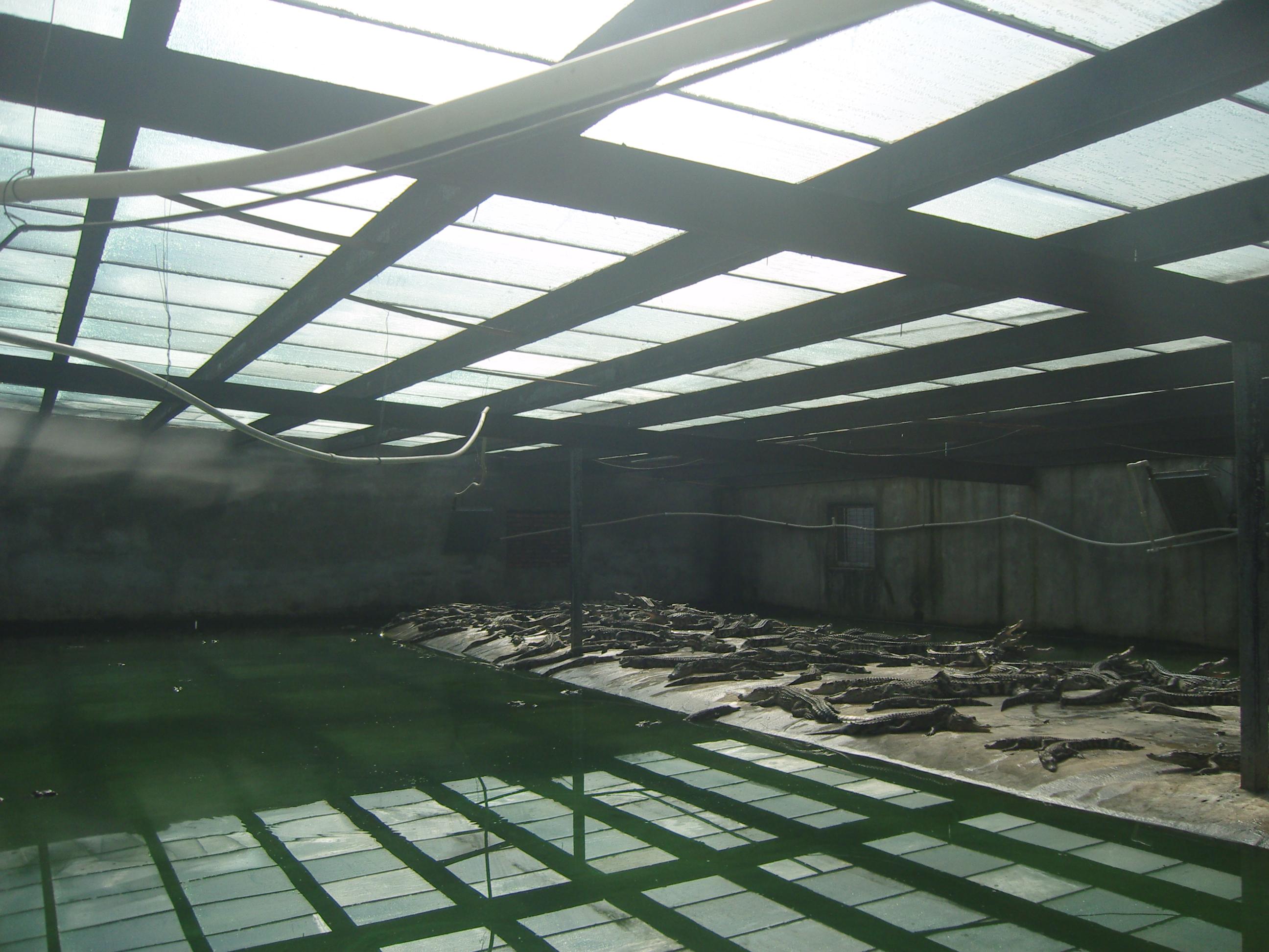 暹罗鳄鱼养殖