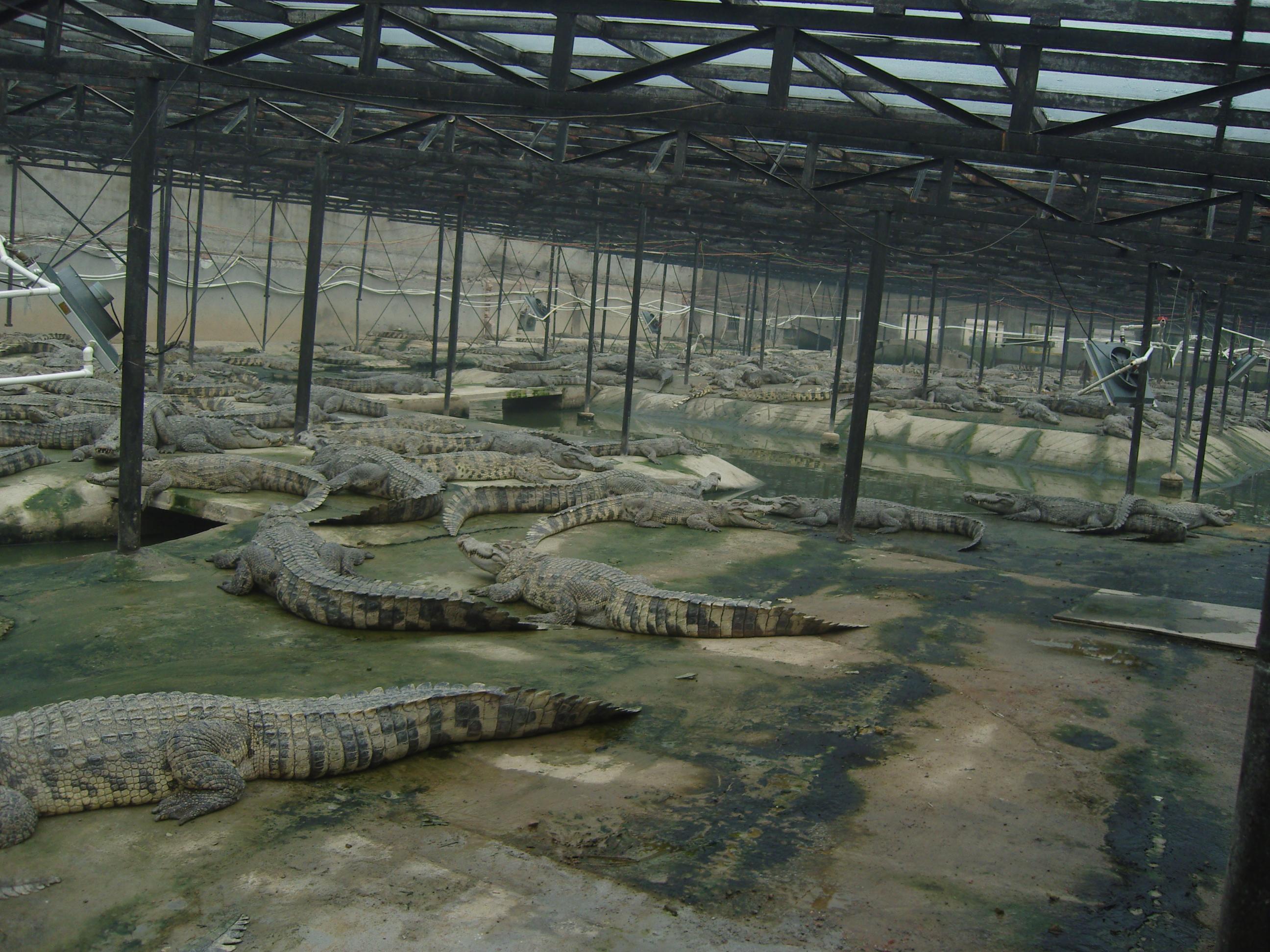 大鳄鱼养殖