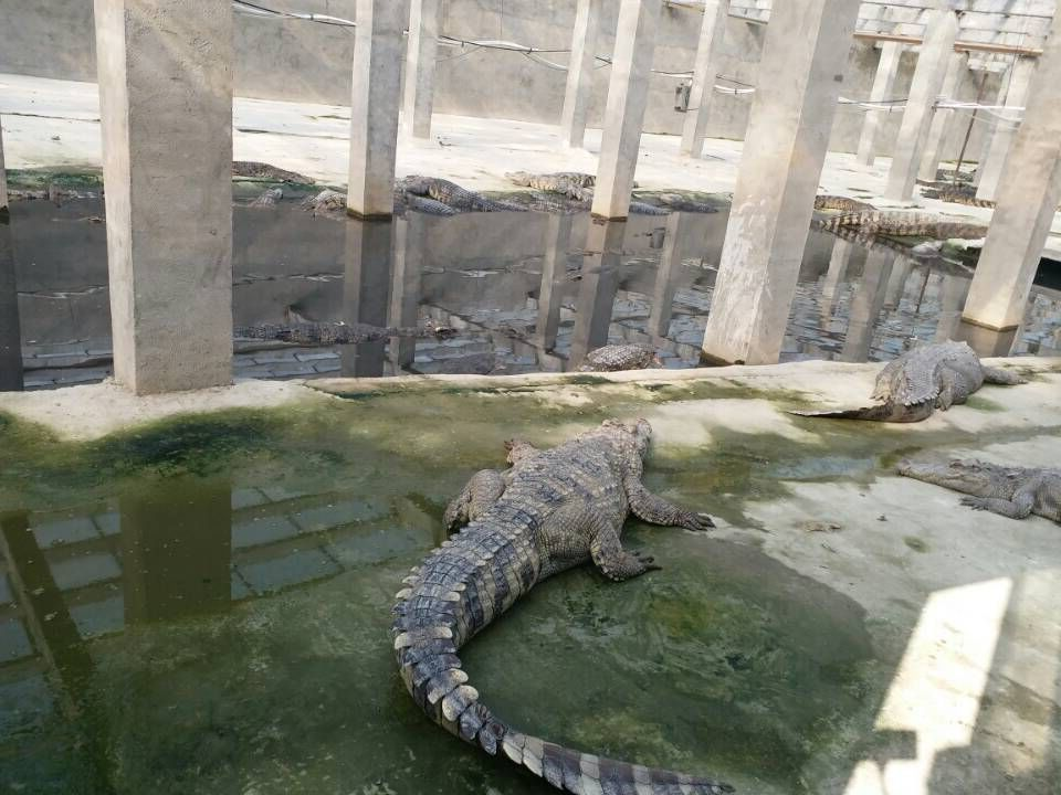 盐城大鳄鱼