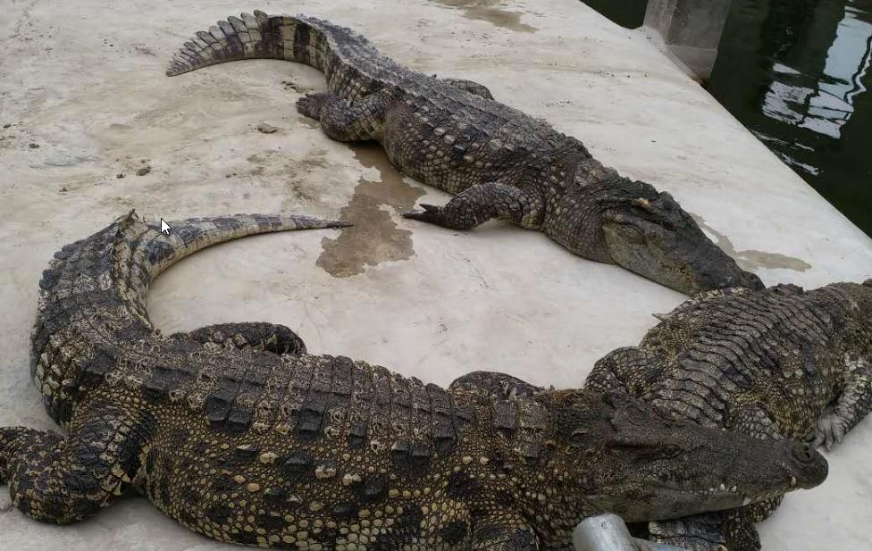 暹罗鳄生态养殖