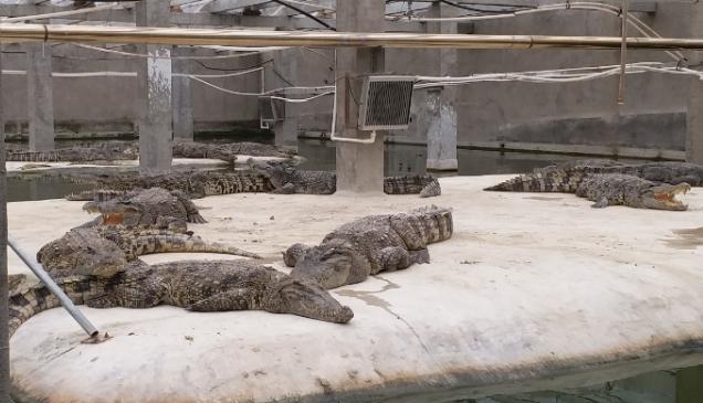 暹罗鳄养殖