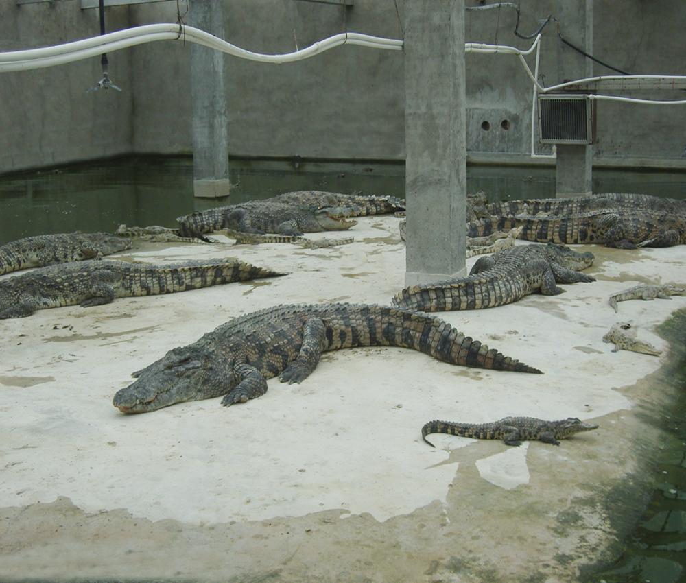养殖暹罗鳄