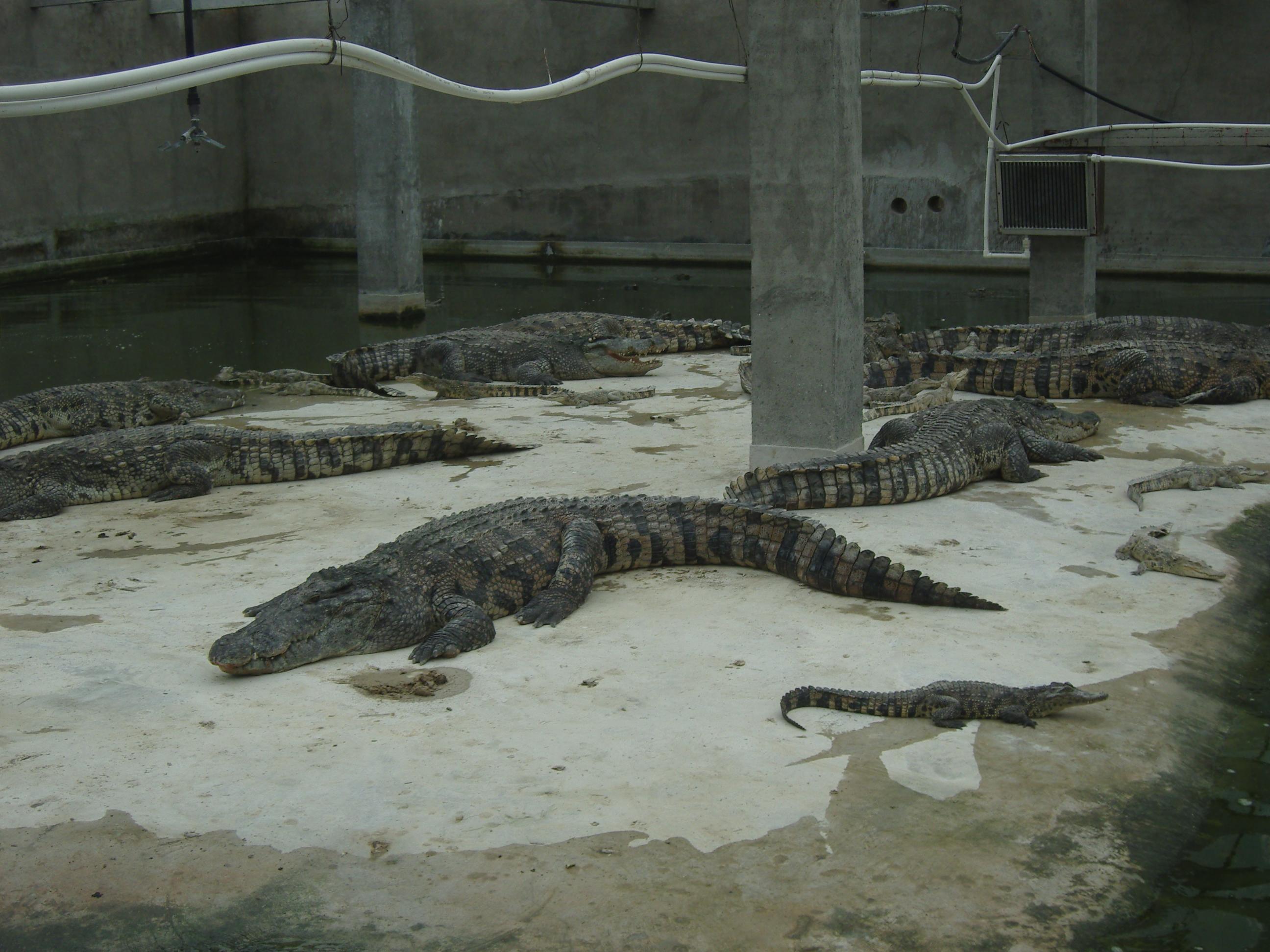 暹罗鳄供应