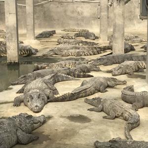 暹罗鳄鱼生态养殖