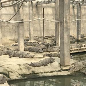 大型鳄鱼生态养殖