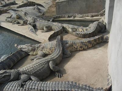 鳄鱼养殖基地