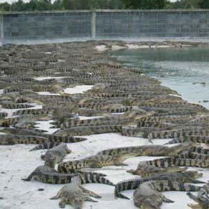 鳄鱼苗养殖技术