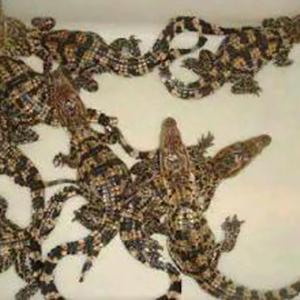 鳄鱼苗养殖