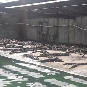 暹罗鳄鱼仿生态养殖