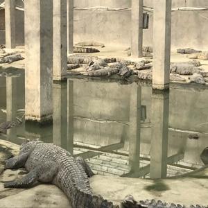 泰鳄养殖场