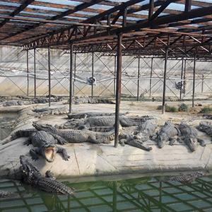 鳄鱼生态养殖场