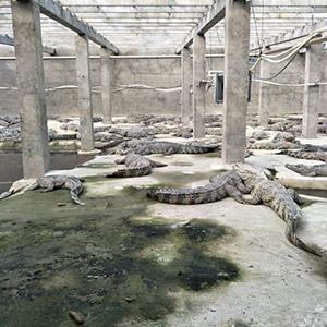 泰鳄(暹罗鳄)