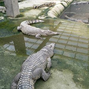 养殖场泰鳄