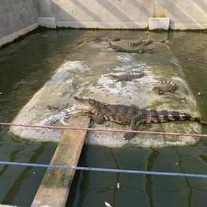 暹罗鳄鱼苗