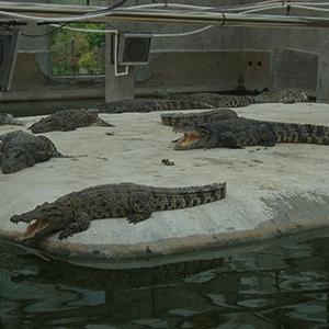 生态鳄鱼养殖加工