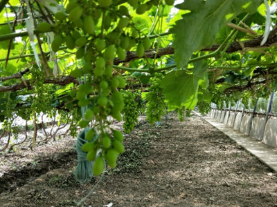 果树黄叶病预防