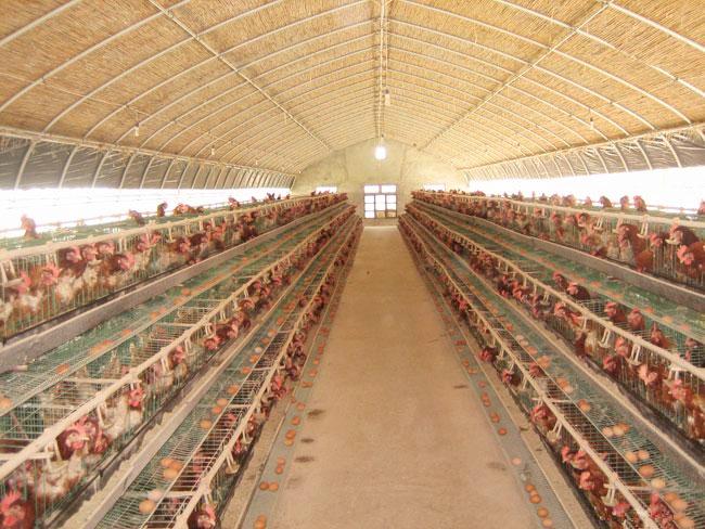 养鸡大棚多少钱