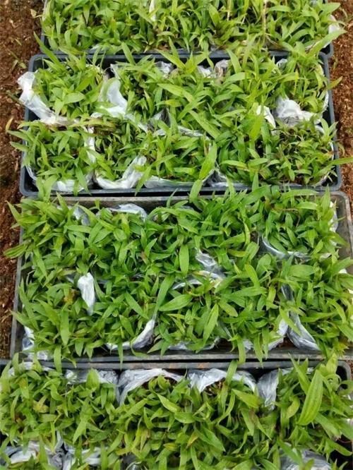 紫花三叉大白及种苗