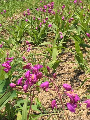 紫花三叉小白及