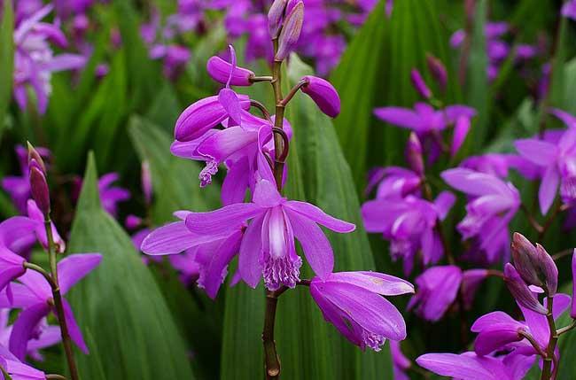紫花大白芨