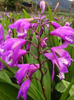 紫花三叉大白及