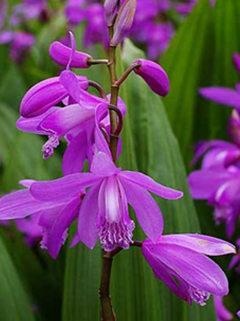 紫花三叉白及