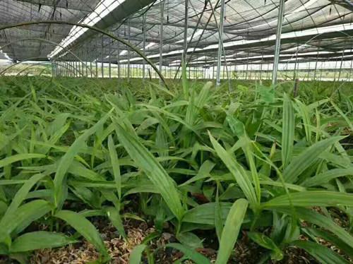 紫花三叉白及种苗