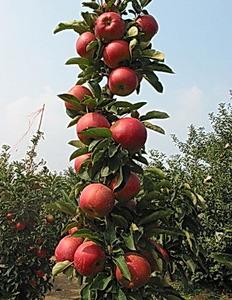苹果苗哪里有_苹果苗_苹果苗批发
