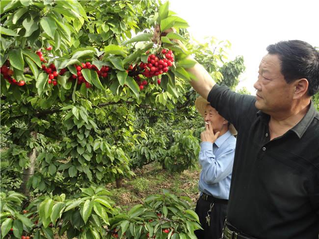 矮化大樱桃苗供应