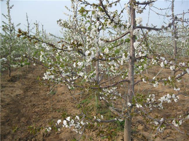 矮化樱桃苗价格